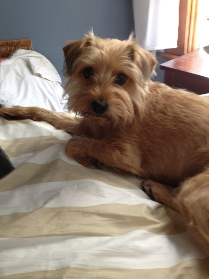 Lemon She S A Yorkie Wire Hair Terrier Mix Norfolk Terrier