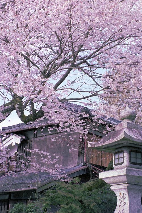 Blossom Tree Cherry Blossom Japan Japanese Garden Scenery