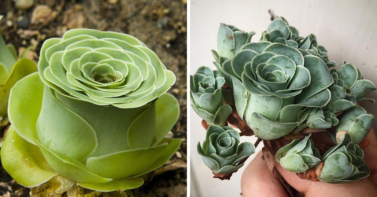 Les Plantes Succulentes En Forme De Rose Existent Et Elles