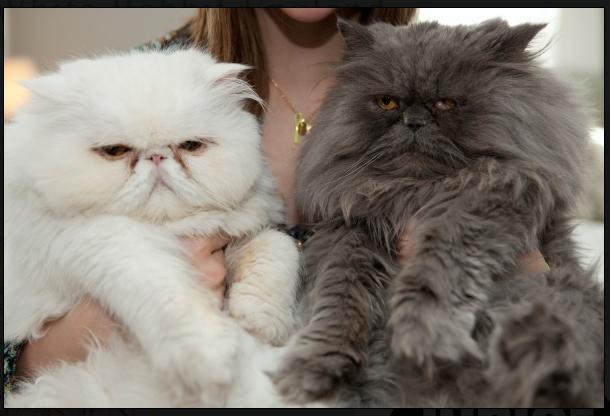 Pin by Narmina K on Cute kittens&puppis Persian cat