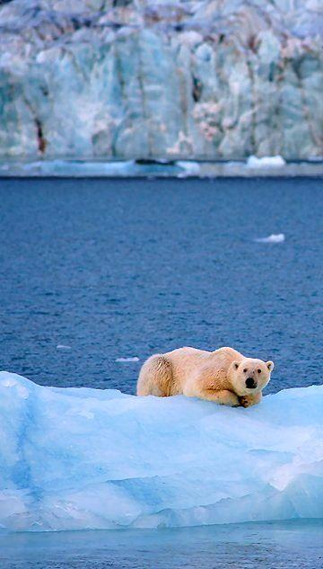 Polar bear in Svalbard, Norway | by Markus A. Bissig