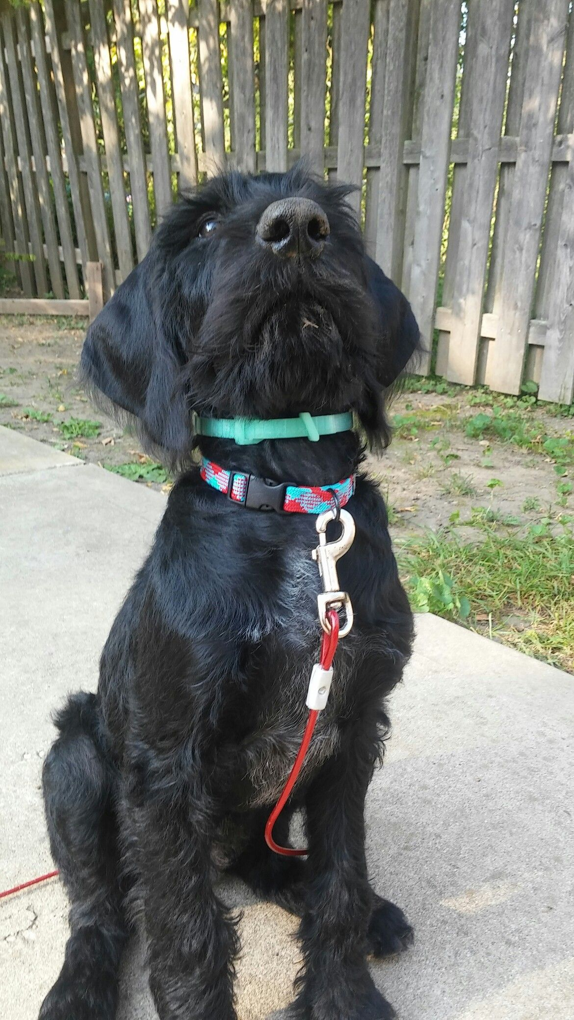 Black White German Wirehaired Pointer German Wirehaired