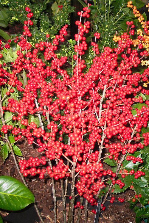 Ilex verticillata-Berry Heavy - Winterberry Holly   www
