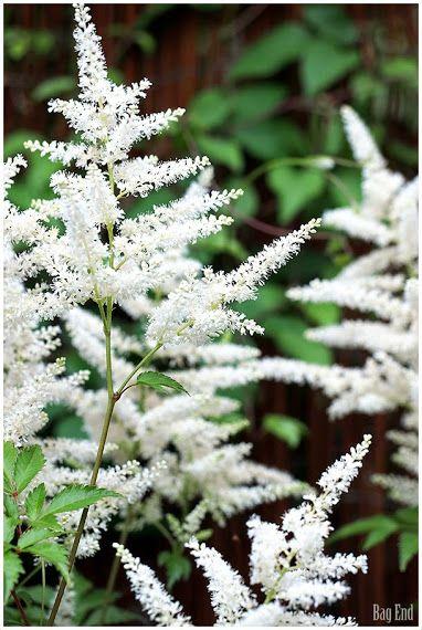 White Astilbe / Valkoinen Jaloangervo