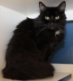 Lost Black And White Cat Cinco Ranch Lost Long Hair Black With White Spot On Chest Neutered Male With Extra Toes Name Cat Hug Dancing Cat Losing A Pet