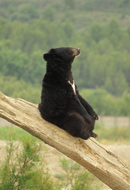 crecimiento del oso negro