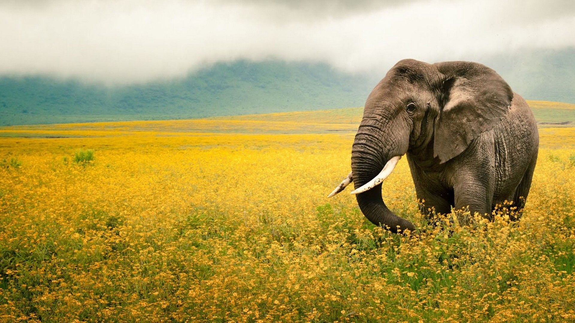 Landscapes Nature Animals National Geographic Wallpaper Elephant Images Elephant Wallpaper Elephant