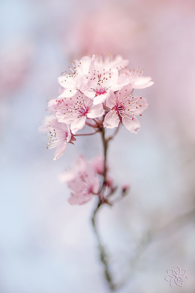 Pale Pink Flower Blue Sky Background Nature Photo Spring