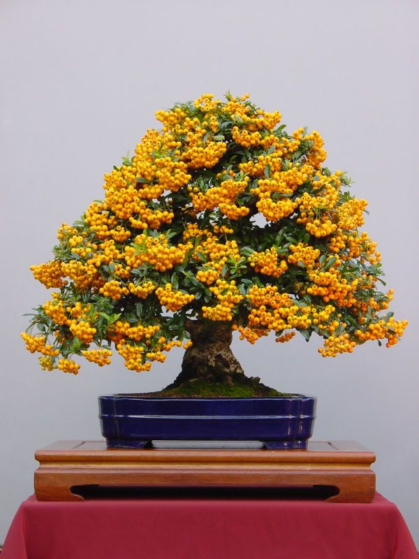 3 Bonsai Mini GOLD Treasure Tree Seeds Tiny Cute Fruit seeds Home Garden  Office Backyard HEIRLOOM