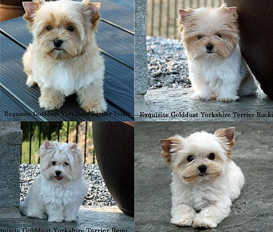 Biewer Yorkshire Puppies For Sale Golddust Yorkshire Puppiesbiewer