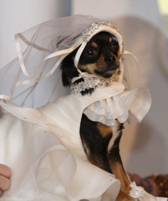 Two Bernese Mountain Dogs Pose With Their Bride And Groom Owners The Dogs Necks Are Adorned With Brightly Colo In 2020 Dog Wedding Dog Wedding Outfits Flower Girl Dog