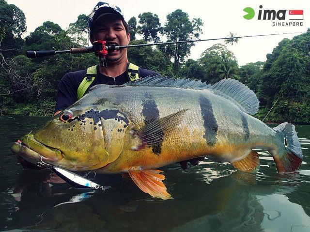 A Colossal Sized Peacock Bass Taken On The Ima Flaming Dart