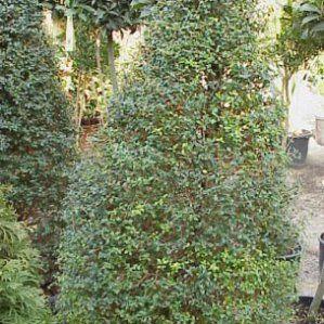 Ligustrum delavayanum nombre popular tipolog a arbusto for Arbustos de hoja perenne resistentes al frio