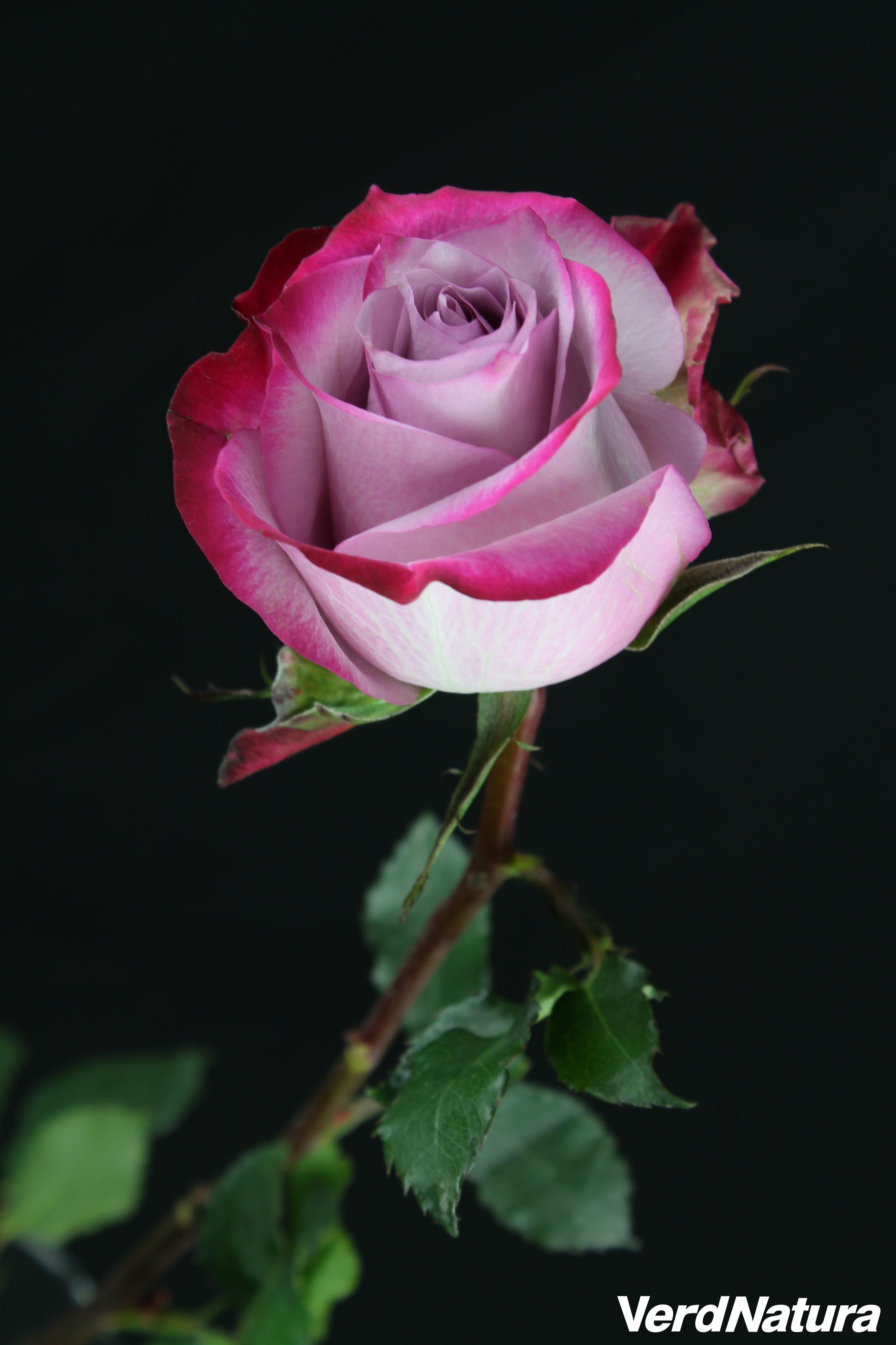 Rosa Deep Purple De Native Una Rosa De Una Extraordinaria Belleza
