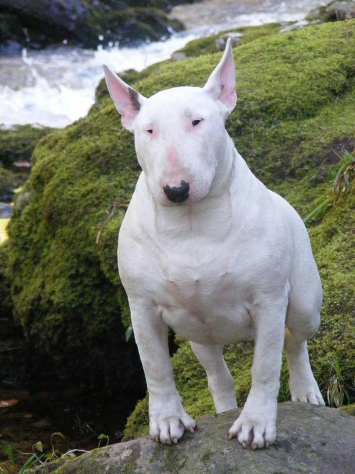 BullTerrier Bull terrier, Bull terrier dog, English