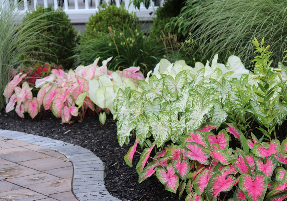 Tips For Growing Caladiums In Zones 5 7 Southern Garden Gardening Zones Front Yard Landscaping