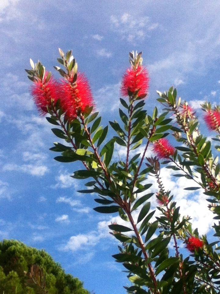 Un Superbe Arbuste Avec Ses Magnifiques Fleurs En Forme De Goupillon D Un Rouge Lumineux Sous Un Ciel D Azur Décoré Par De Pet Fleurs Vivaces Arbuste Fleurs