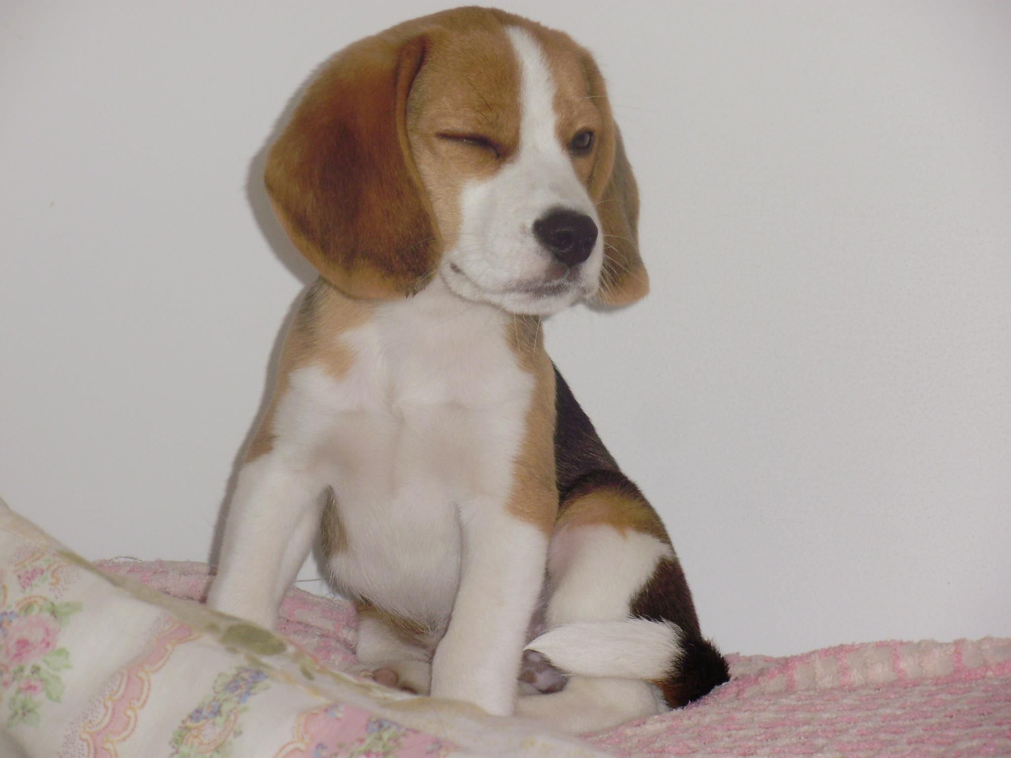 When You Get The Wink You Know You Are Hooked On A Beagle