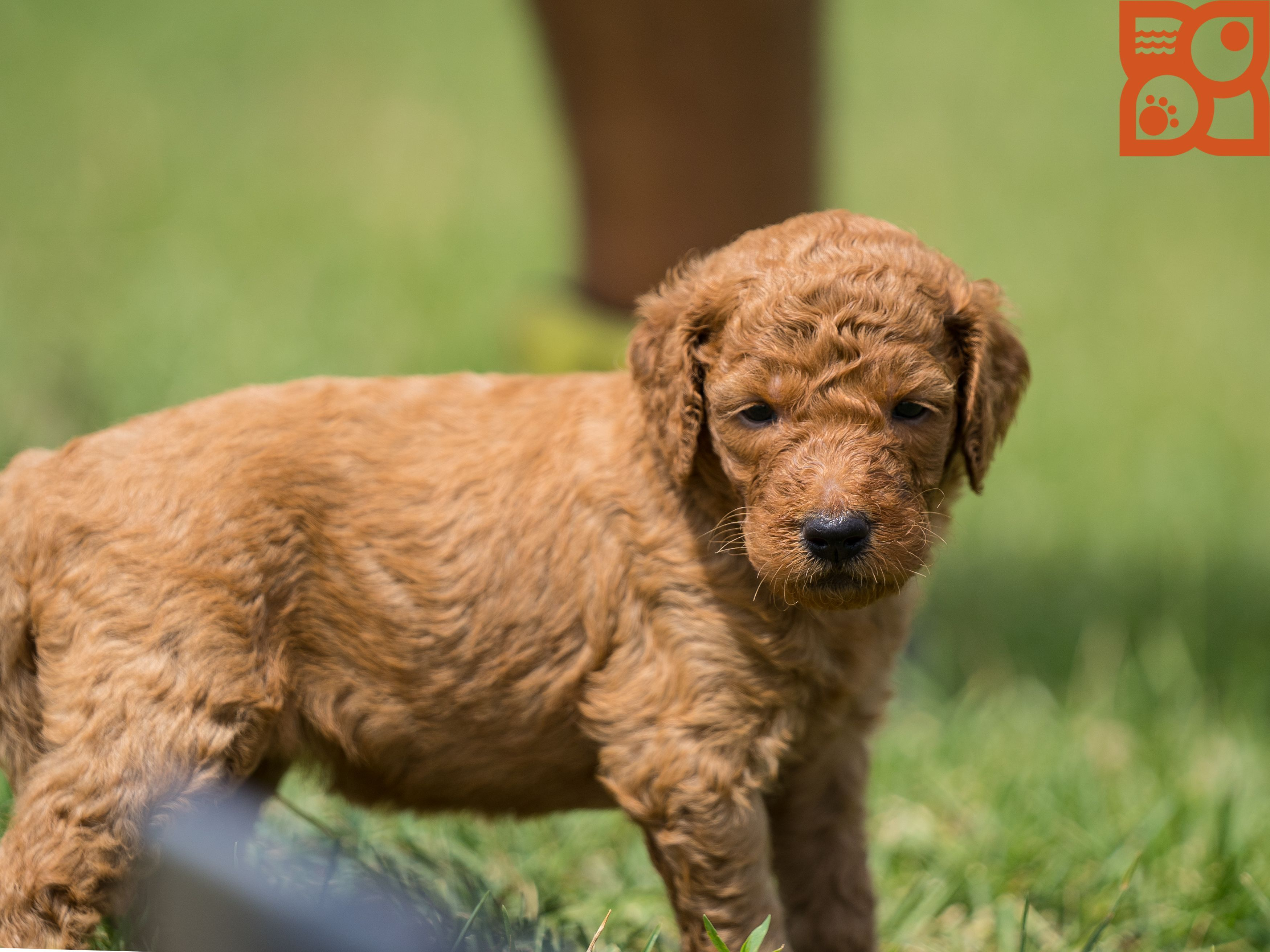 Our precious Goldendoodle puppy having fun at our Breeders