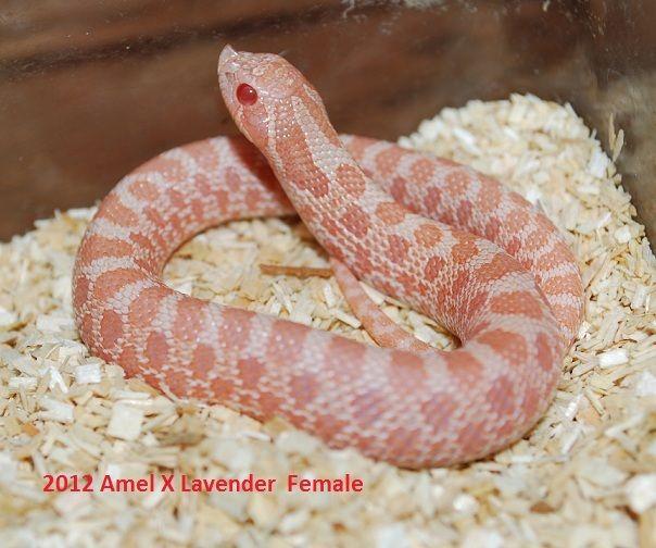 Baby (Amel x Lavender) Hognose Snake   My Own Personal Zoo   Snake