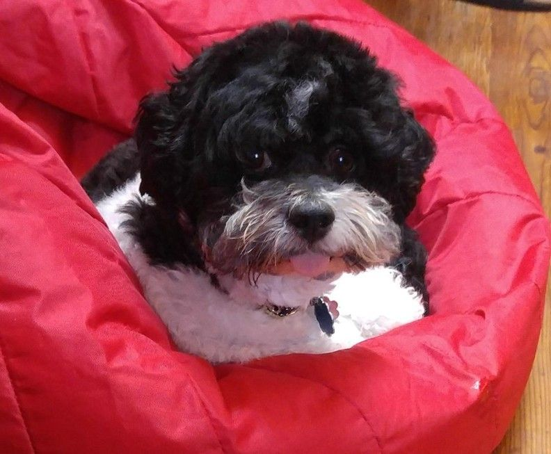 Adopt odie on petfinder shih tzu shih tzu puppy poodle