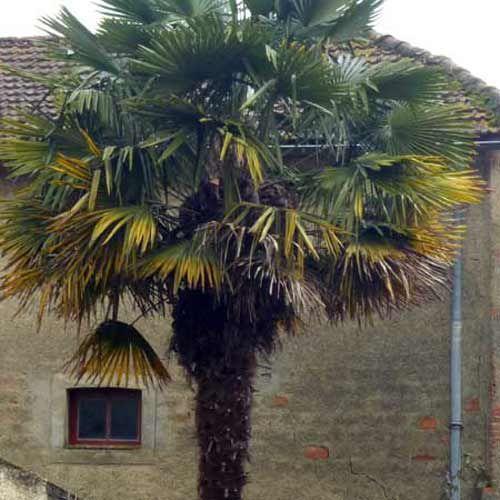 palmier de chine (trachycarpus fortunei) le palmier le plus