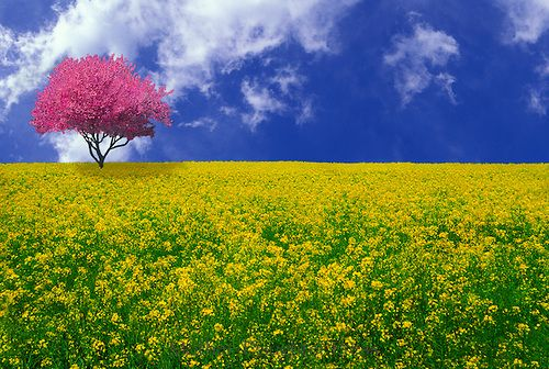 Wild mustard meadow with pink crabapple on horison   Mother ...