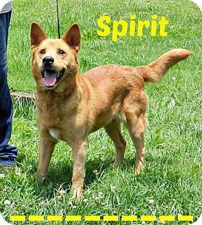 SAFE!!! SPIRIT...Lawrenceburg, TN - German Shepherd Dog/Chow Chow Mix. Meet Spirit, a dog for adoption. http://www.adoptapet.com/pet/11152461-lawrenceburg-tennessee-german-shepherd-dog-mix