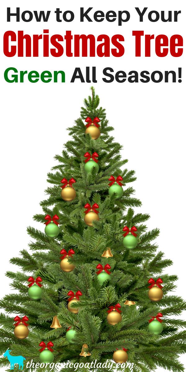 How To Keep A Christmas Tree Alive The Organic Goat Lady Christmas Tree Care Green Christmas Tree Christmas Tree