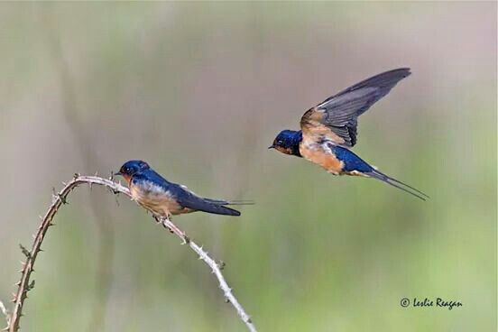 Barn Swallows   Barn swallow, Animals, Animal lover