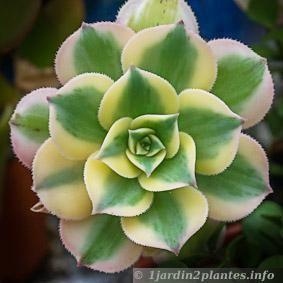 Conseils autour des plantes grasses et succulentes for Artichaut plante grasse