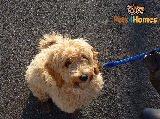 F2b Sprockerpoo Cockapoo Cross Spoodle Puppies Puppies
