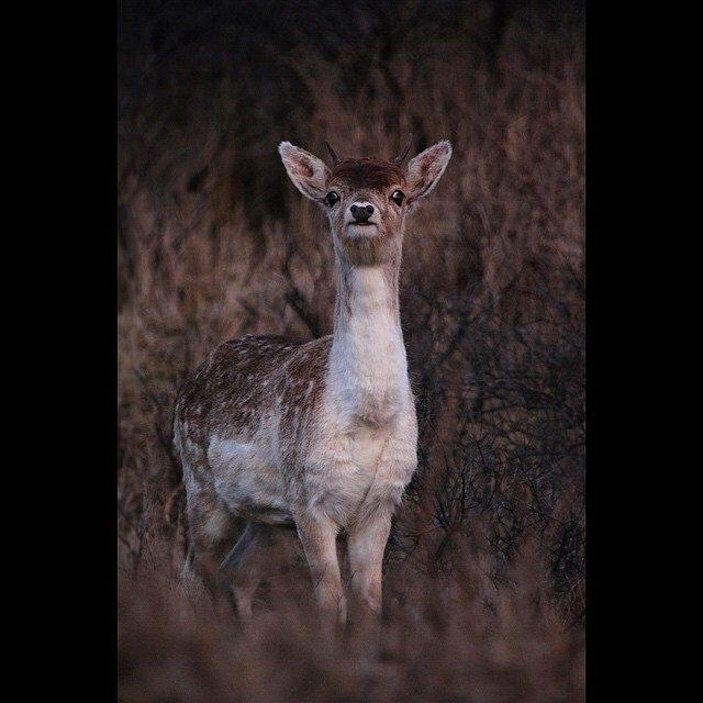 #fallow deer in #dutch #dunes #damhert in #hollandsduin #Staatsbosbeheer_featureme #InstaSize