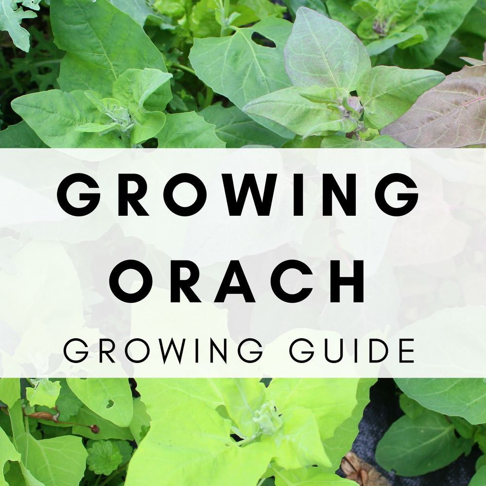 Growing Orach In The Spring And Fall Vegetable Garden For