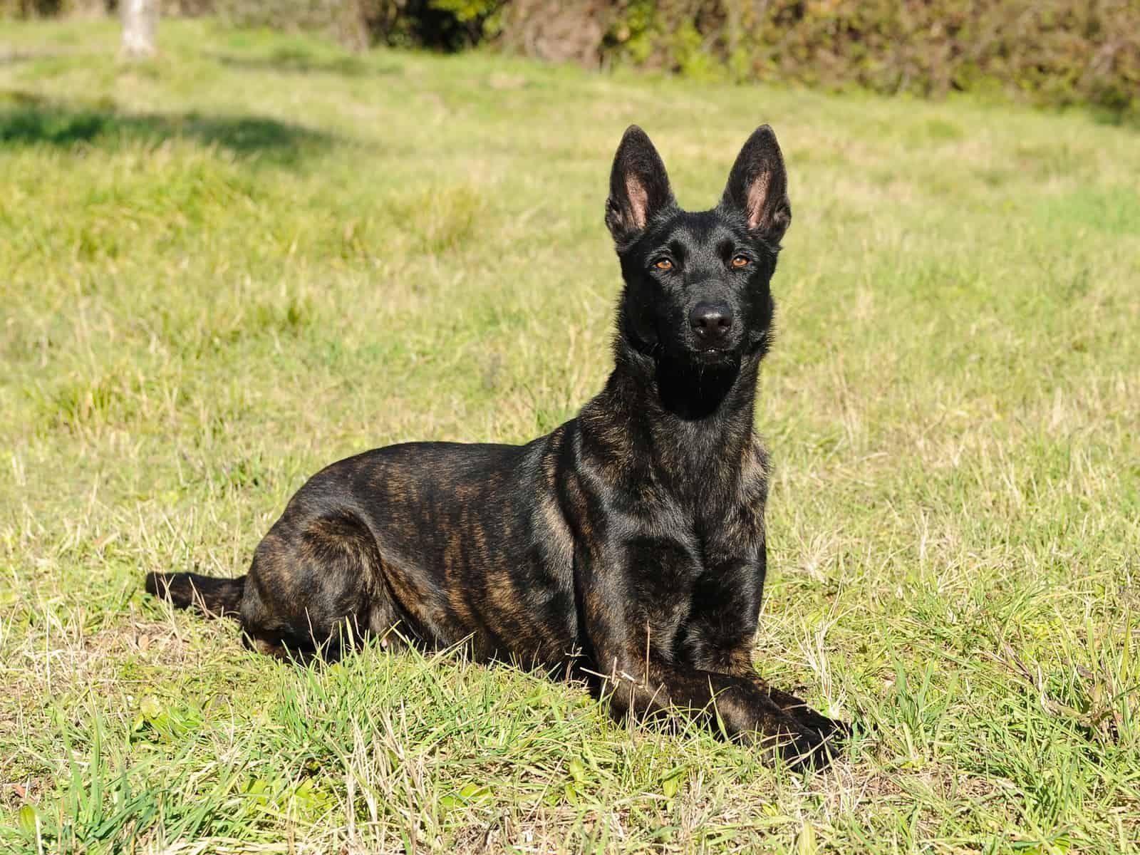 Portrait Of Dutch Shepherd Dog In Outdoors Dutch Shepherd Dog