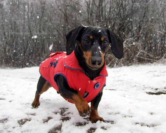 Dachshund Winter Pros Cons Winter Jackets Fireplaces