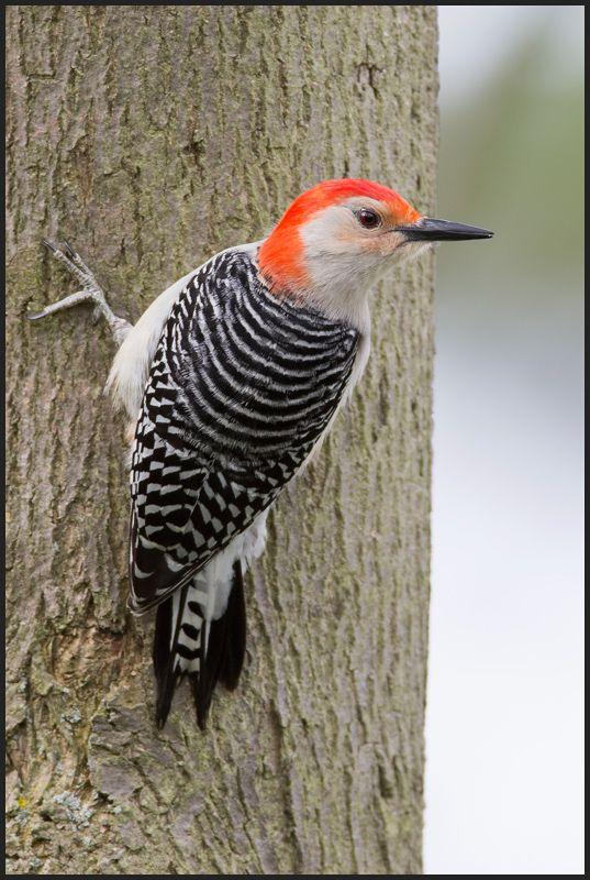 Red-bellied Woodpecker, Melanerpes carolinus, dzięciur czerwonobrzuchy