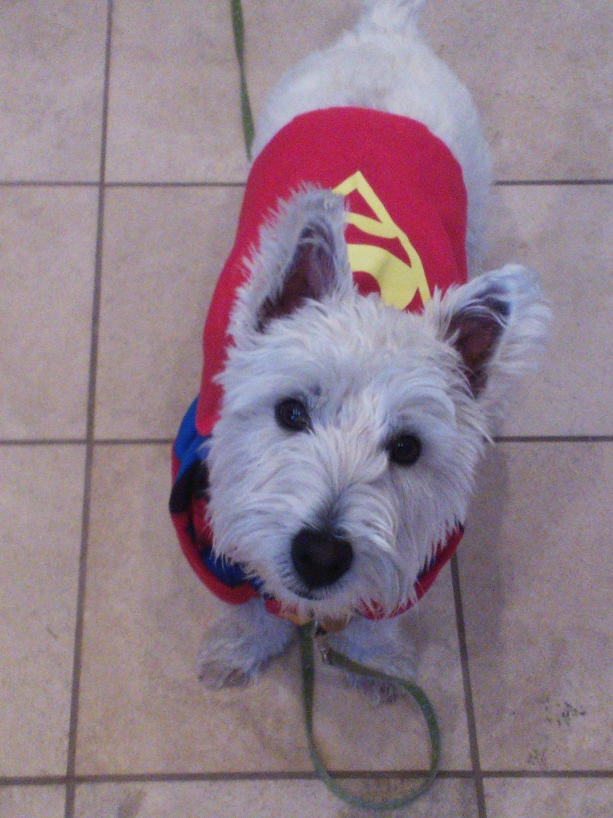 Westie, Halloween, costumes, dog costumes, dogs, in 2020