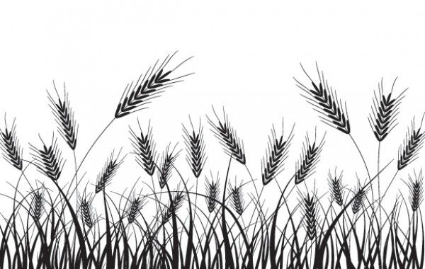 Beautiful Golden Wheat Field, Wheat Wheat, Harvest Season, Paddy PNG  Transparent Clipart Image and PSD File for Free Download