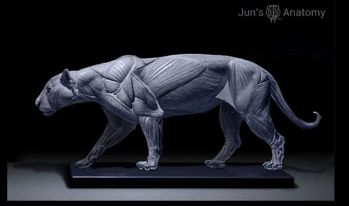 Jaguar Anatomy Model, this is a WIP final pose maybe different than ...