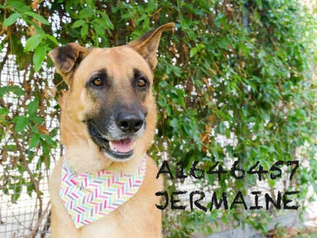 JERMAINE - URGENT - CITY OF LOS ANGELES SOUTH LA ANIMAL SHELTER in Los Angeles, CA - Adult Male German Shepherd