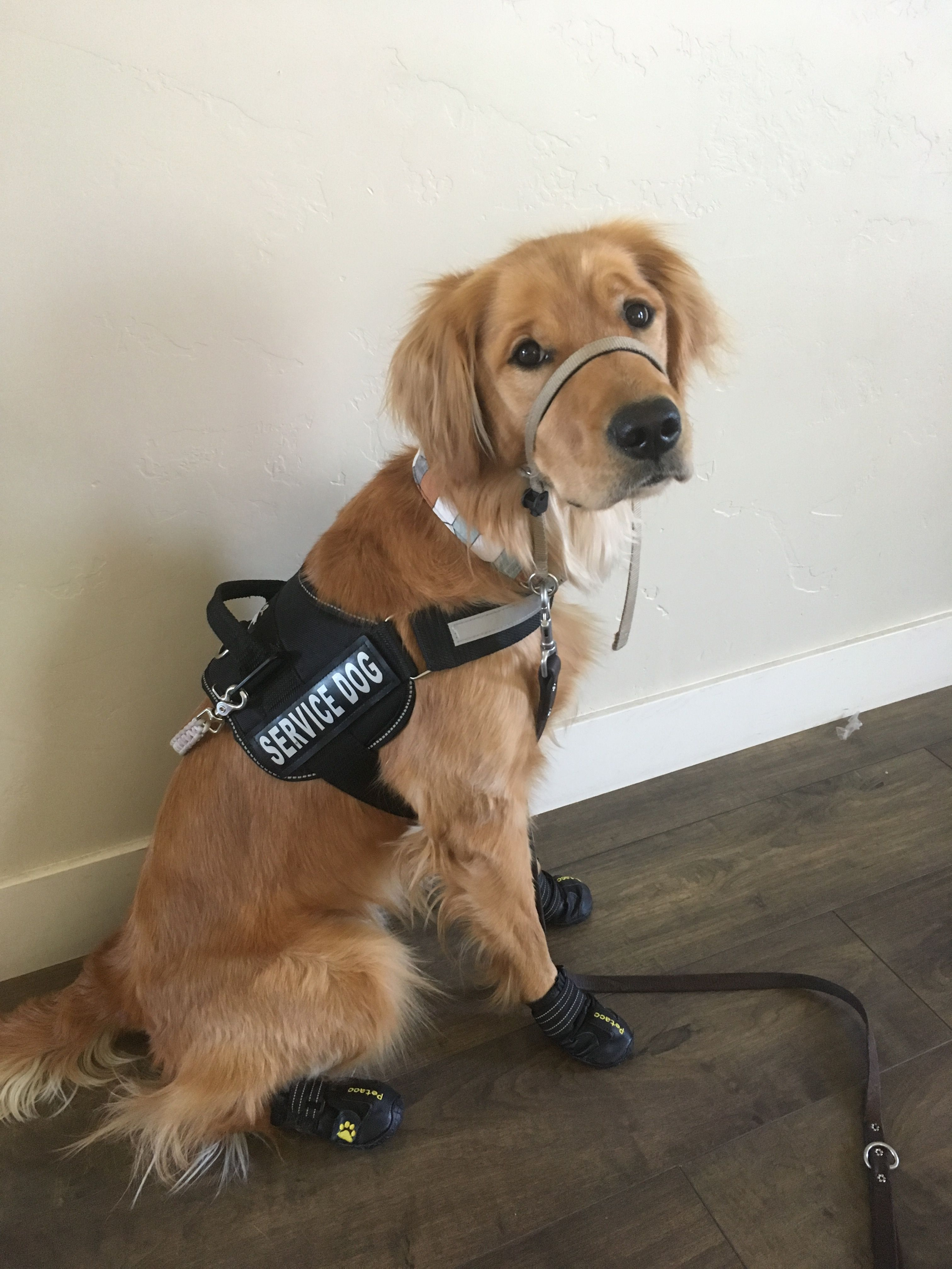 He knows he's handsome! Golden retriever service dog
