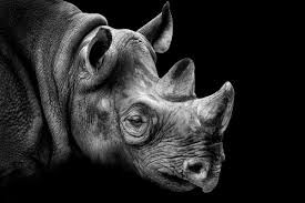 Image result for rhino photography