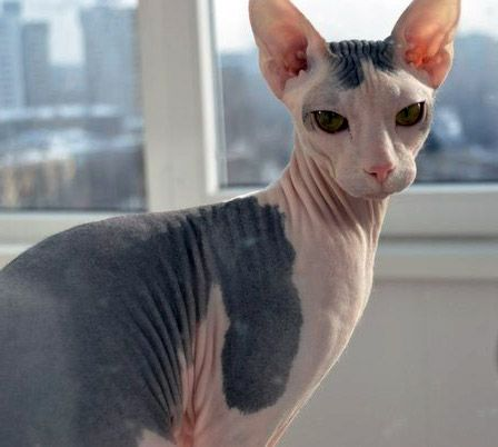 Cute Mexican Hairless Cats Hairless Cat Cats Cat Has Fleas
