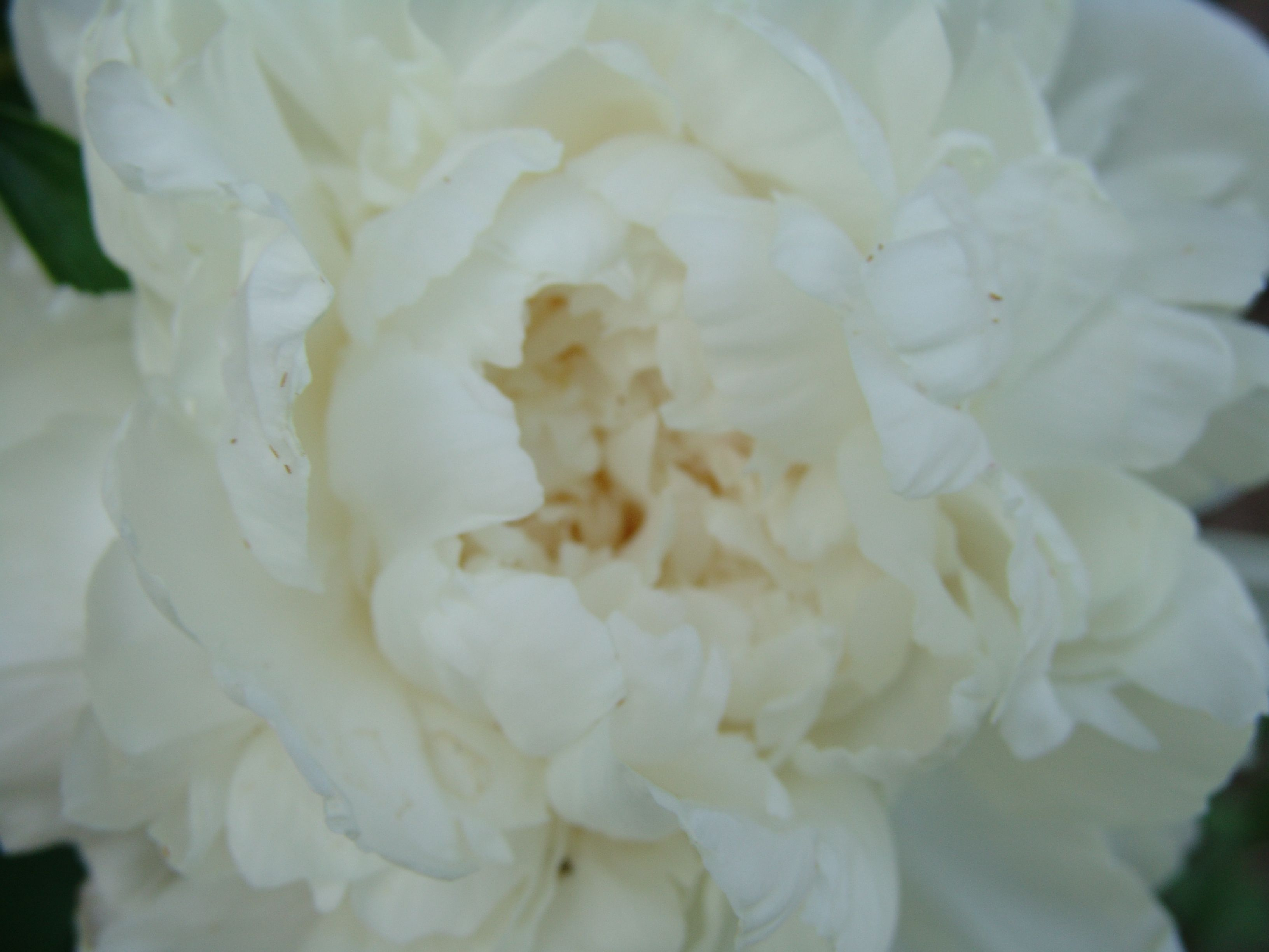 Peony (very late May/early June) www.seededearth.blogspot