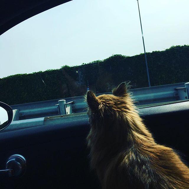 . 車窓から .  #関越道 #早起き #高速 #車窓 #ハイウェイ #クルマ犬 #お出かけ #愛犬 #いぬ #チワワ #後ろ姿 #なにかんがえてるのかな #犬バカ部 #いぬのきもち #チワワ #むぎ #ほんわか #わくわく #少し遠くへ #travel #dog #lovedogs #doglife #drive #instagood #happy