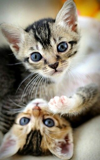 Kitten twins via catalmighty.com