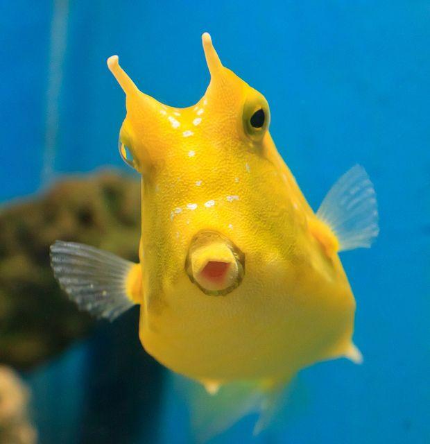 Julia Sumangil Cow Fish Marine Animals Ocean Creatures