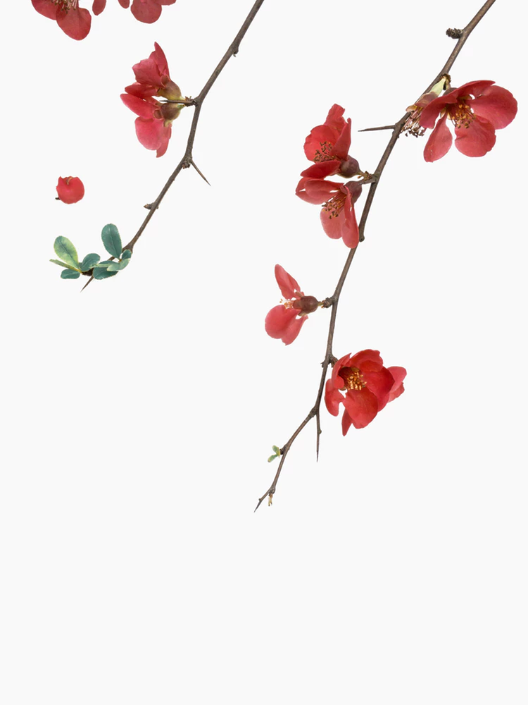 Flower Plant White And Red Hd Photo By Han Chenxu Hanchenxu