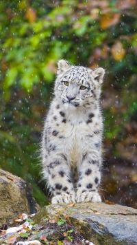 Animal Snow Leopard Cats Mobile Wallpaper Animals Wild Cats